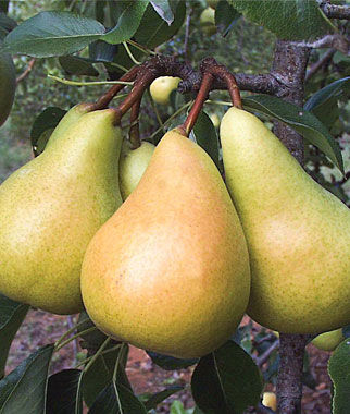 European Pear, Sunrise, , large