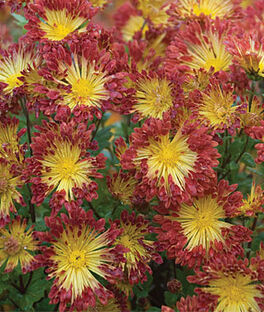 Chrysanthemum, Matchsticks, , large