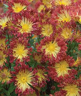 Chrysanthemum, Matchsticks, , large