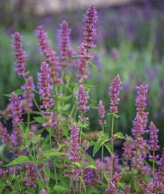 Agastache, Blue Boa, , large