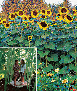 Sunflower, Sunforest Mix, , large