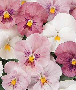 Pansy, Panola Pink Shades Mix, , large