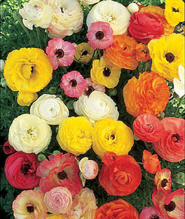Ranunculus asiaticus Mix, , large