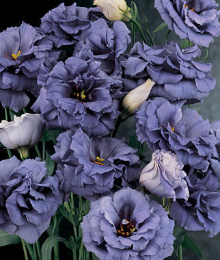 "Lisianthus ""The Blue Rose""®, , large"