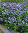 Amsonia, Blue Ice , , large