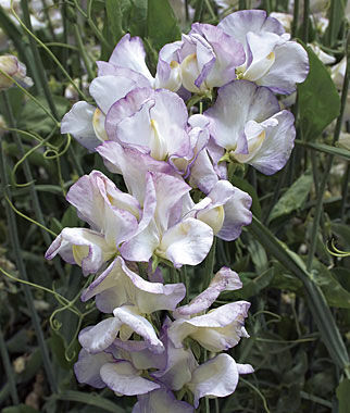 Sweet Pea, High Scent, , large