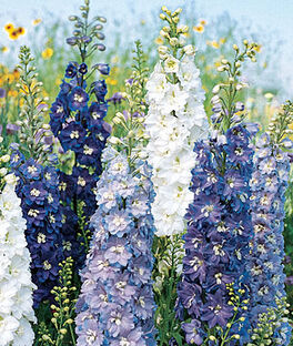 Delphinium, Fantasia Mixed Colors, , large