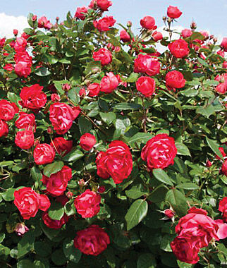 Rose oso easy double red ppaf roses at - When to plant roses ...