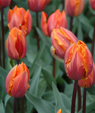 Tulip, Princess Irene, , large