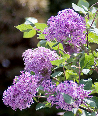 Lilac Bloomerang Dark Purple Ppaf Fall Perennials At