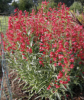 Penstemon, Red Riding Hood, , large