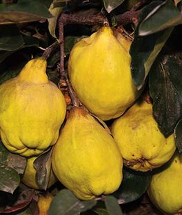 Quince, Smyrna , , large