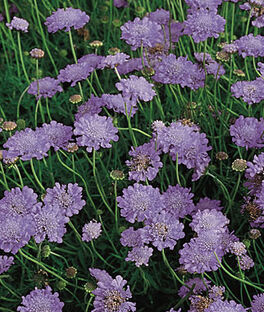 Scabiosa, Butterfly Blue, , large