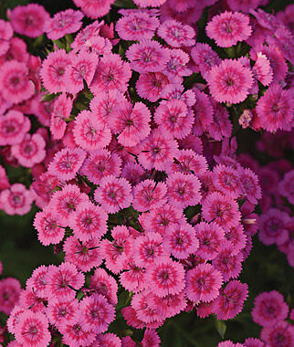Dianthus, Jolt Pink 6 Plants, Annuals, Annual Flowers, Annual Flower Plants, Flower Plants, Flowering Annuals, Bedding Plants