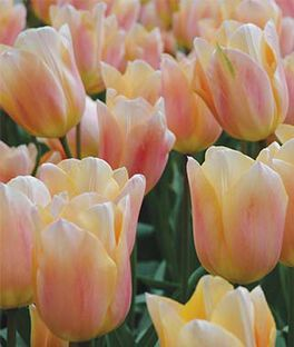 Tulip, Apricot Beauty , , large