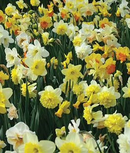 Daffodils 100 Days, , large