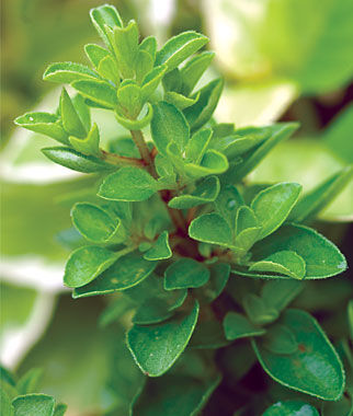 how to grow marjoram from seed