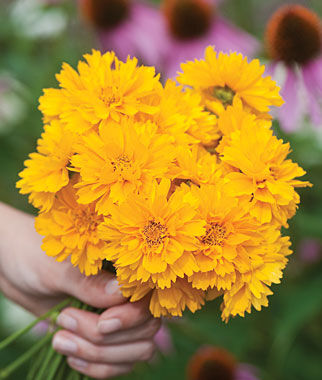 Coreopsis, Early Sunrise, , large