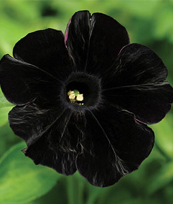 Petunia, Black Cat