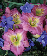 Daylily Lavender Stardust, , large