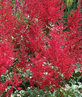 Astilbe, Burgundy Red, , large