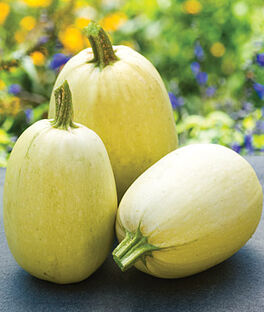 Squash, Winter, Tivoli Hybrid, , large