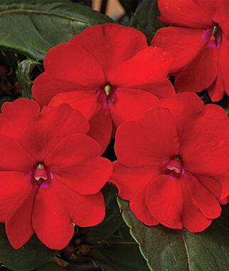Impatiens, SunPatiens Red 3 Plants, Annuals, Annual Flowers, Annual Flower Plants, Flower Plants, Flowering Annuals, Bedding Plants