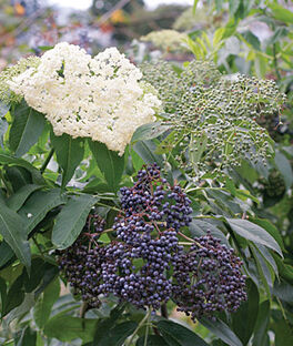 Elderberry, Collection, , large