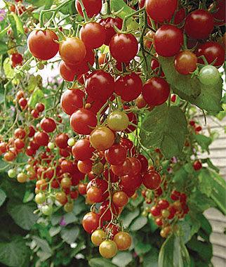 Cherries Jubilee Cherry Tomato Seeds And Plants Vegetable