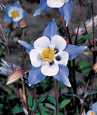 blue star columbine seeds and plants, perennnial flowers at burpee, Beautiful flower