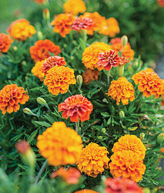 Marigold, Triple Treat - Marigolds at Burpee.com