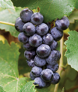 Grape, Mars Seedless PP5680, , large