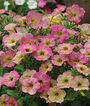 Petunia, Debonair Dusty Rose Hybrid, , large