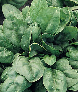 Spinach, Giant 157 Hybrid, , large
