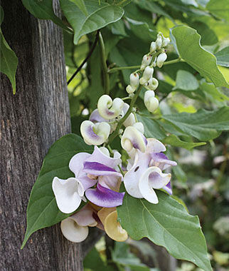 Vigna, Corkscrew Vine 3 Plants Annuals, Annual Flowers, Annual Flower Plants, Flower Plants, Flowering Annuals, Bedding Plants