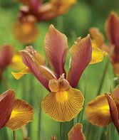 Iris Dutch, Lion King , , large