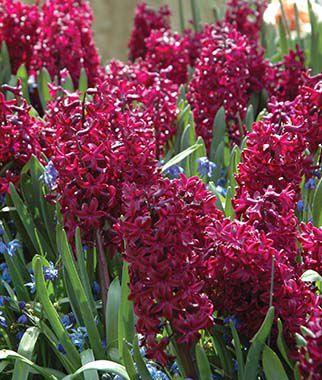Hyacinth Hollyhock Hyacinth At Burpee Com