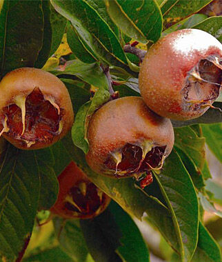 Medlar, Breda Giant , , large
