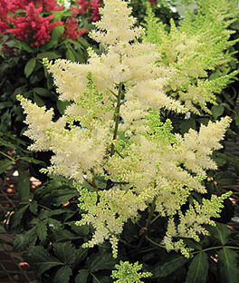 Astilbe, Younique White  PP19845 , , large