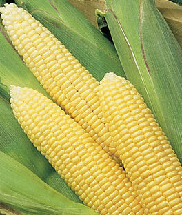 Corn, Early Sunglow Hybrid, , large