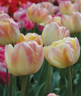 Tulip, Peach Melba , , large