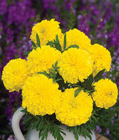 Marigold, Lofty Lady, , large