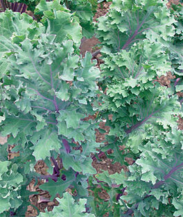 Kale, Red Winter Organic, , large