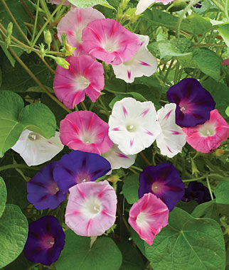 Morning Glory, Zeeland Hybrid Mix, , large
