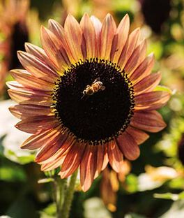 Sunflower, Suntastic Pink Bicolor Hybrid, , large