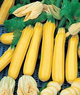 Summer Squash, Golden Zebra Hybrid, , large