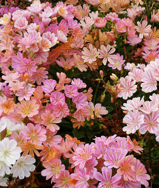 Lewisia, Elise Mix , , large
