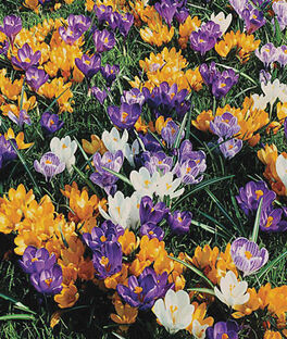 Crocus, Giant Mix , , large