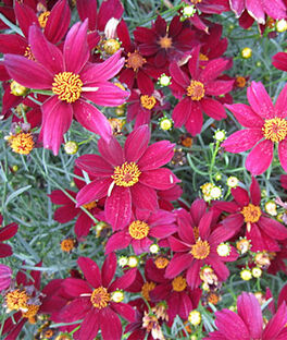Coreopsis, Red Satin PPAF, , large