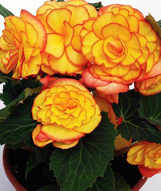 Begonia, On Top Sunglow, , large